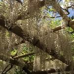 66594582 - 萬葉植物園の藤 満開でした 香りだってましたお庭