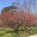 Sunainosato - 入り口の梅