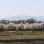 66643158 - おまけ…北上市展勝地の満開の桜