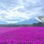 奈良田本店 - 翌朝行った 富士芝桜まつり