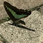 平野屋 - 暖かいから蝶が