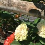 パークス - 色々な薔薇!詳しくはしおりをいただけます!無料!