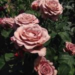 シーズンズ カフェ - 園内のバラ アンティークな色合いで優美