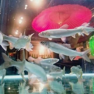 【泳ぎ鮎】活きた鮎を食す、繊細な香味、苦みは食通向き