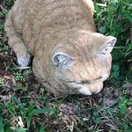 68192437 - 野良猫よけのフェイク猫