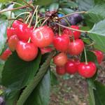 ふれあいの家 - 『本多果樹園』さくらんぼ園のさくらんぼ。鈴なりになっていて、一粒一粒の糖度も高い。