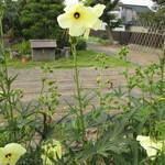 蔵精 - 朝だけのはかない命 オクラの花