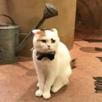 Cat Cafe てまりのおうち - てまり(スコティッシュフォールド・女の子)毛繕いに時間をかけていたコ