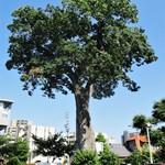 太閤本店 - 駐車場に立つ大木。