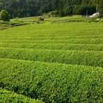 iq cafe&dining - 新茶の茶畑