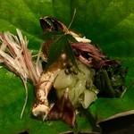 69734206 - 栗蟹と野菜の酢の物