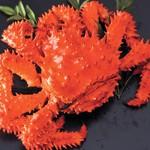 茹で花咲き蟹  時価