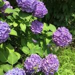 プリムローズ - 駐車場に咲いていた紫陽花