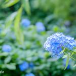 明月院 月笑軒 - 明月院ブルー