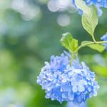 明月院 月笑軒 - ふんわりと明月院ブルー