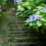 明月院 月笑軒 - 明月院の行く途中にも紫陽花が