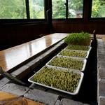 木漏れ陽 - なんと、テーブルの真ん中でもガーデニング♪ カイワレ大根のように発芽させた蕎麦の芽です。