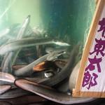 御食事処 スズキ - 超肉厚鰻の生簀でしょうか。