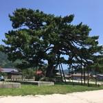 70502504 - 村長オススメの松の木