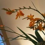 70548299 - 祇園祭の頃には【姫扇】の朱色が映えます。