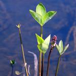神仙沼自然休養林休憩所 - 水面から顔を出す高山植物