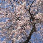 桜美荘たいら - 庭の大枝垂れ桜。