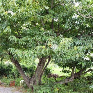 「くりの木」の栗の木