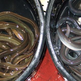 選りすぐりの活鰻※画像左:天然物右:養殖物