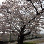 7406016 - お店の前の桜