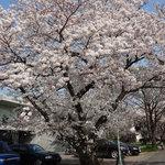 7406018 - 満開の桜