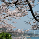 中華食堂 一楽 - 2011千光寺。桜満開!