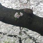 7412259 - 幹から桜.JPG