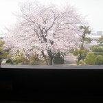 7462108 - 店内から観る桜    (11年4月)