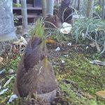 ろばた焼 童子 - 庭ににょきにょき竹の子がはえています