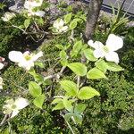 花水木 - 店の前に植えてある花水木の花が満開でした