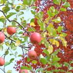 レストラン あっぷるひる - 外には林檎の木が