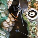 76282594 - 店内には鯉も泳いでます