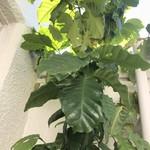 加藤珈琲店  - いただいた珈琲の芽はすくすく育ち
