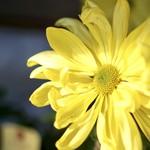 76413165 - 亀戸天神の菊まつり