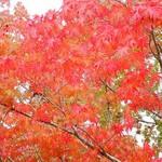 76544688 - 河口湖の紅葉、そろそろ終わりかな~。