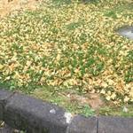Kuroisopakinguerianoborisenshokudou - パーキングエリアの落ち葉
