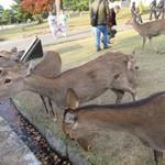 吉野本葛 天極堂 - 奈良公園、彼女たちを「おじぎシスターズ」と命名しよう(笑