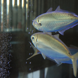 採れたて鮮魚をその日のうちに!天然活魚の活け造り♪