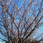 77497168 - 桜