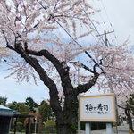 梅乃寿司 - 2011/05 さくら通り。満開♪