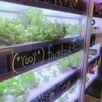 とんきっき 本店 - 自家製レタス栽培中。
