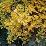 カフェ ラ・ボエム - 医科研のイチョウの大木