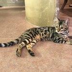 Cat Cafe てまりのおうち - 綺麗な模様のジェリー