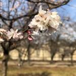 78441900 - 今頃?大阪城公園の桜!咲いてます