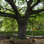 7969312 - この庭一番の大木。( ・∀・)イイ!!